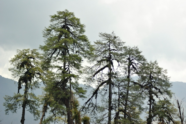 Cypress trees close to Bumthang.
