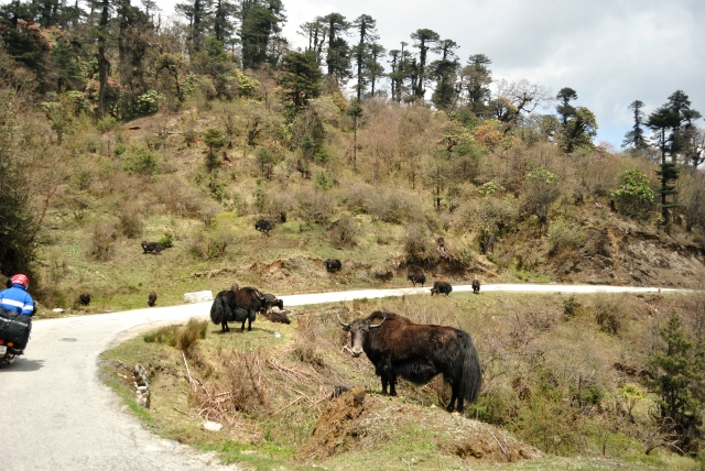 Yaks grazing on the way.