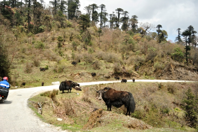 Yaks grazing on the way.