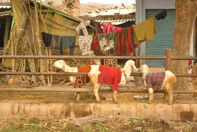 I have never, ever, ever seen goats wearing sweaters and tees before, but it's a pretty common sight in UP. I'm guessing it has something to do with winter.