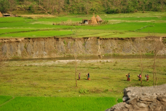 Wheat growing in fields on the way to Pokhara.