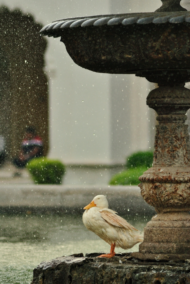 Grumpy duck, Chowmahalla Palace.